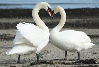 Love_swans